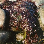 Fundy Dulse